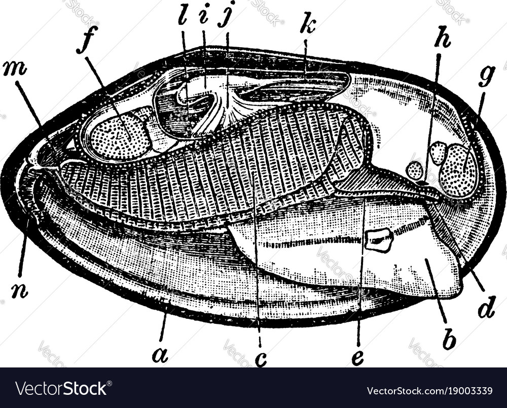 Mussel Anatomy Vintage Royalty Free Vector Image