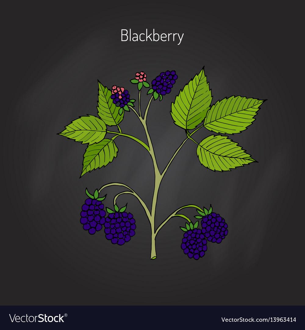 Blackberry garden plant