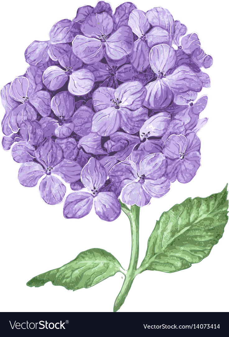 Lilac Hydrangea Flowers Isolated On White Vector Image
