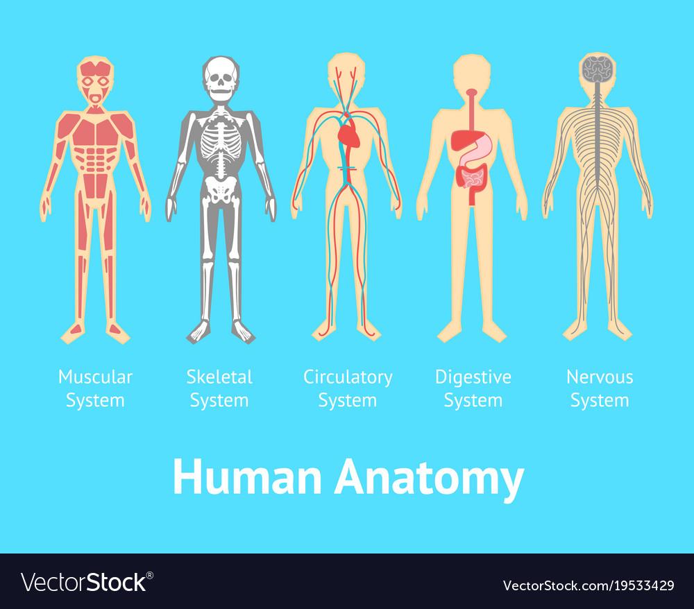 Cartoon Color Human Anatomical System Card Poster Vector Image