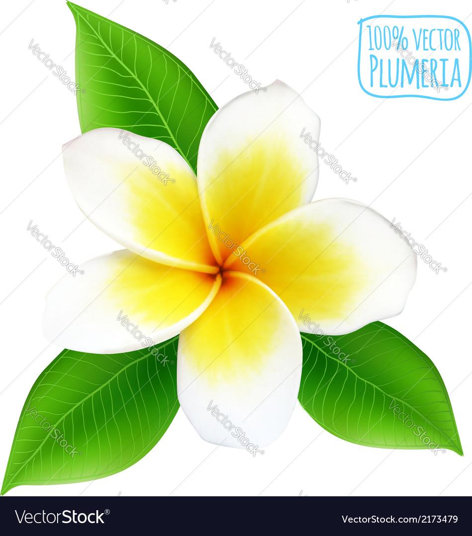 Realistic isolated plumeria flower vector image