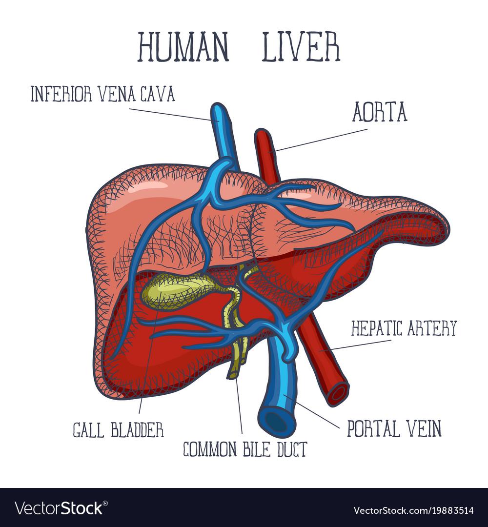 Human Liver Diagram 419rma Lift