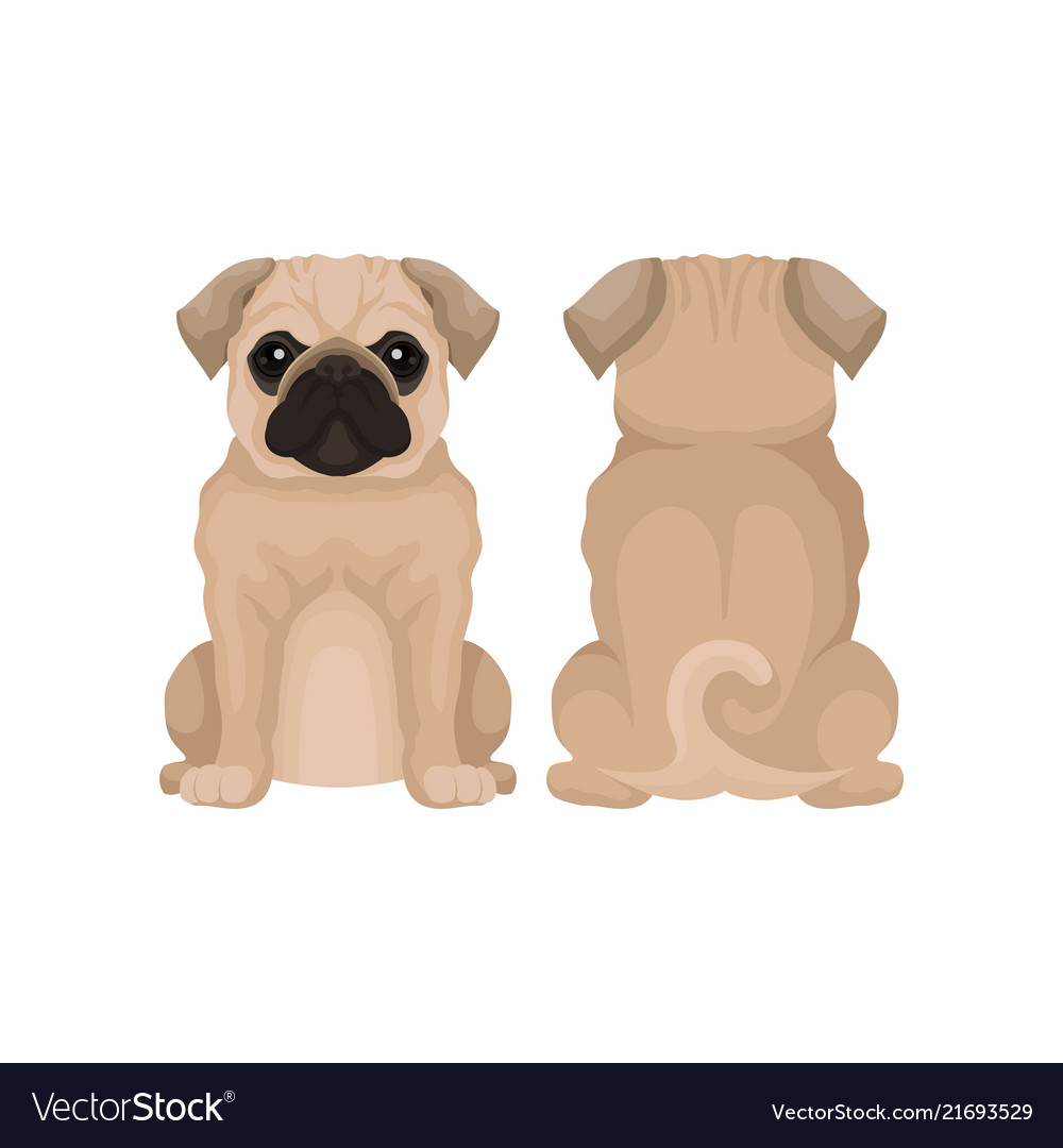Flat Funny Pug Puppy Front Royalty Free Vector Image