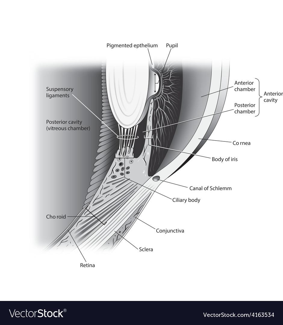 Eye lateral cutaway view vector image