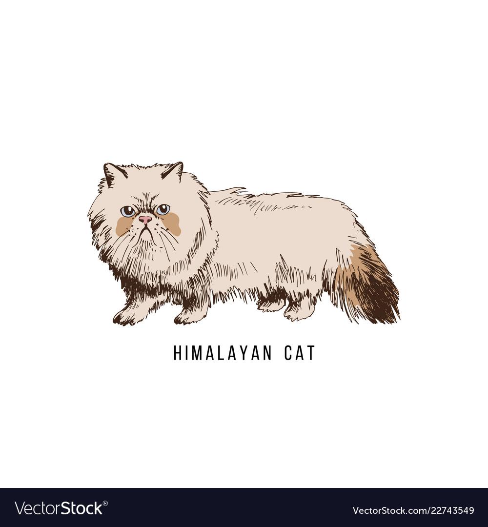 Hand drawn himalayan cat