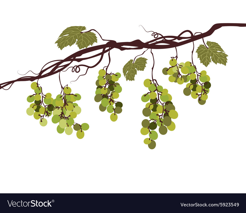Vine with green grapes