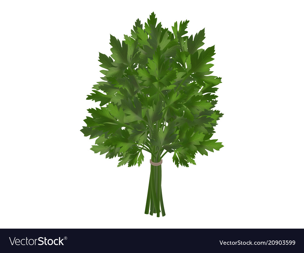 Bunch of fresh parsley coriander