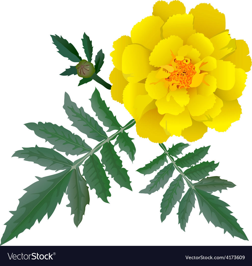 Realistic Yellow Marigold Flower Royalty Free Vector Image