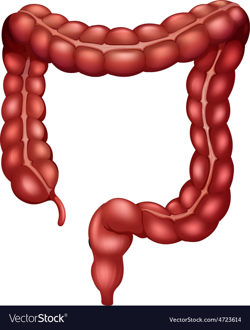 Large Intestine vector image