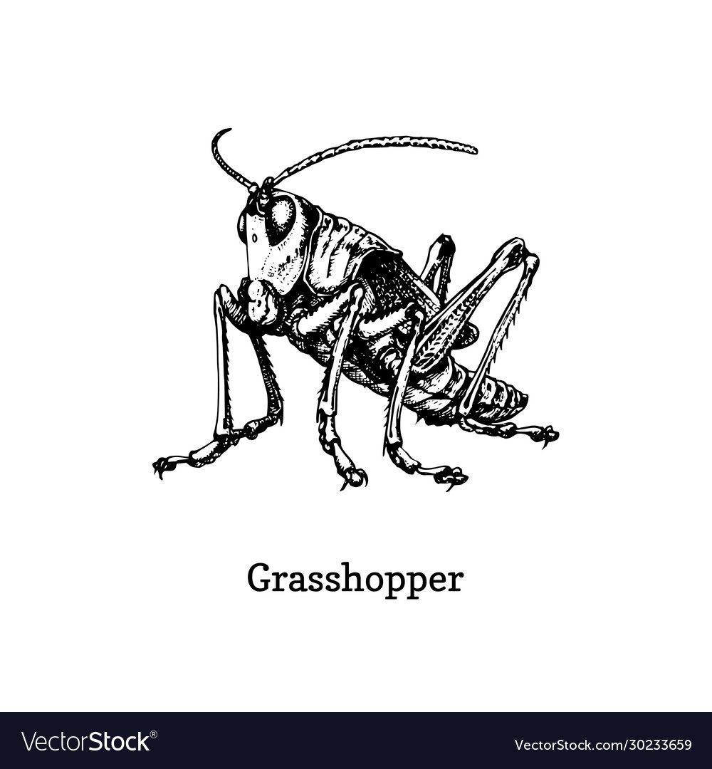 A grasshopper drawn insect in