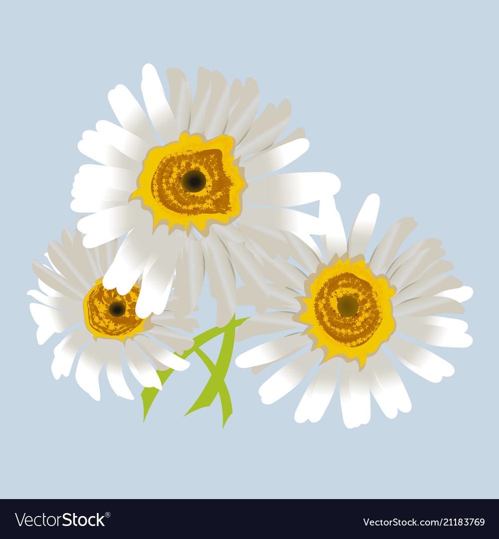Chamomile or camomile flowers isolated romantic