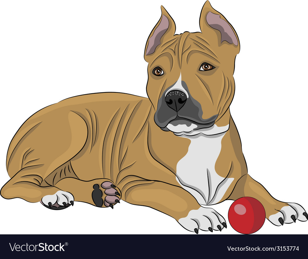 American staffordshire terrier a vector image