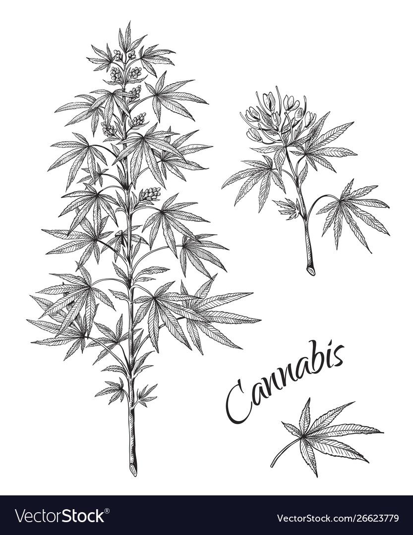 Hand drawn cannabis linear sketch marijuana