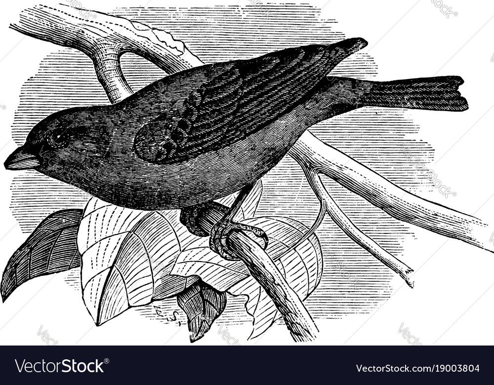 Indigo bird vintage vector image