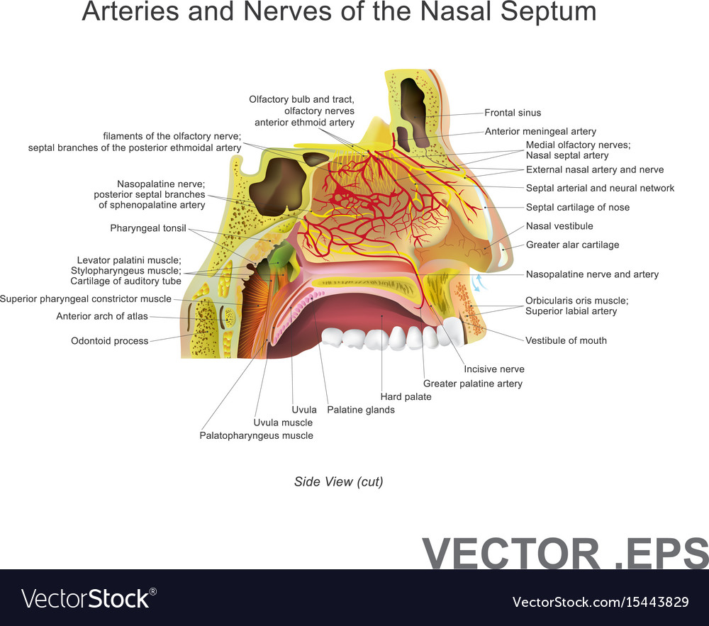 Nose cartilage vector images 9 ccuart Image collections
