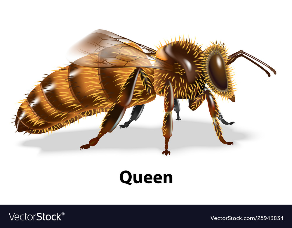 Queen bee on white background