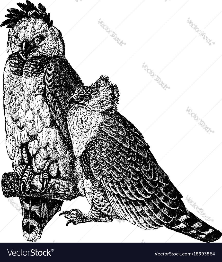 american harpy eagle vintage royalty free vector image