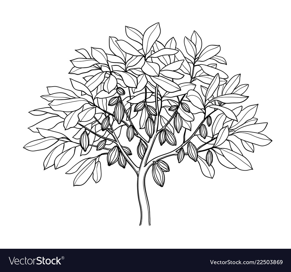 Cocoa Tree Ink Sketch Royalty Free Vector Image