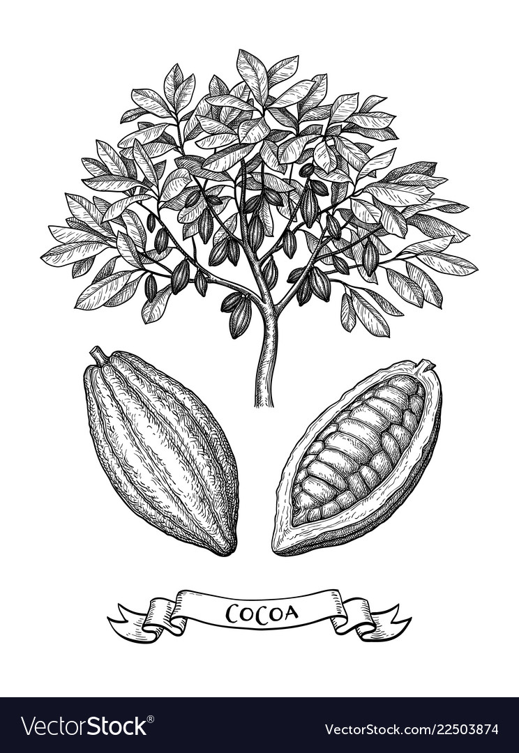 Cacao tree and fruits ink sketch