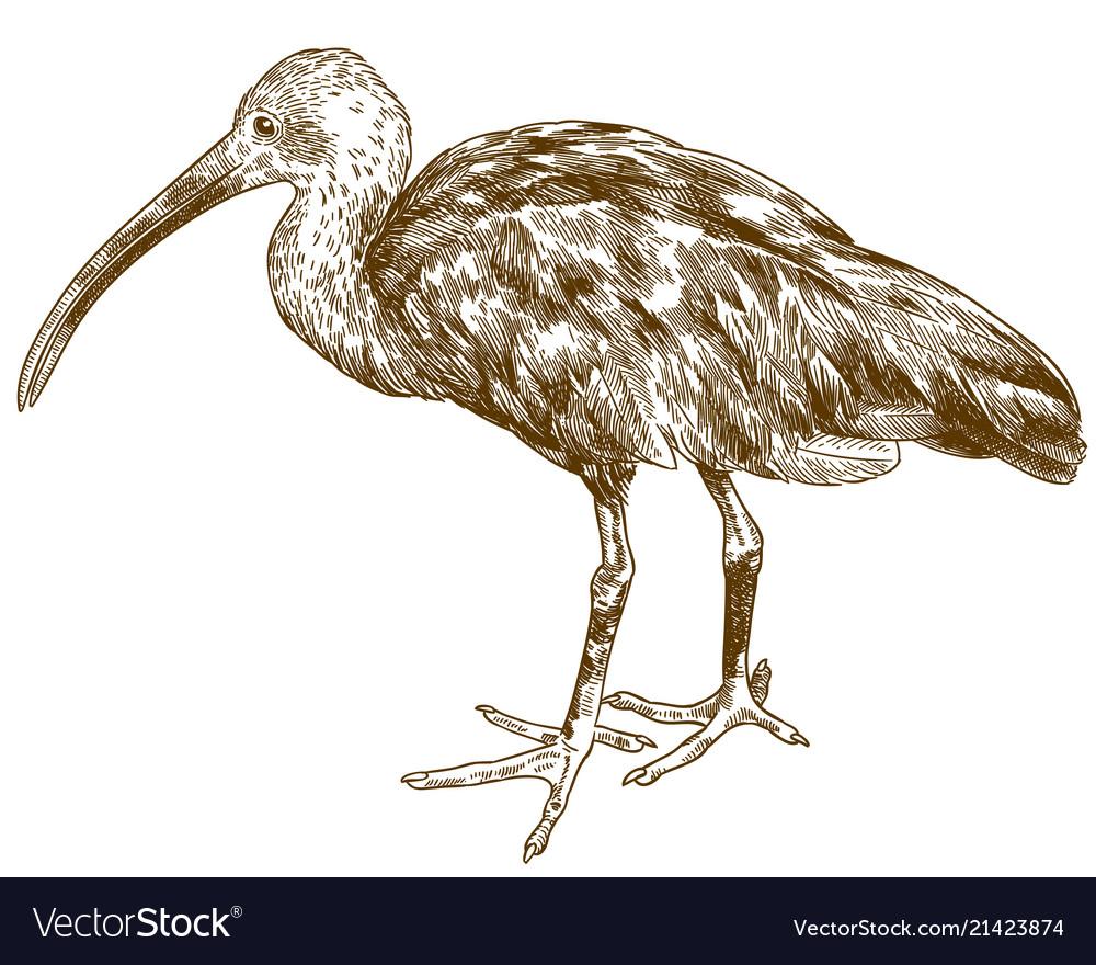 Engraving drawing of scarlet ibis