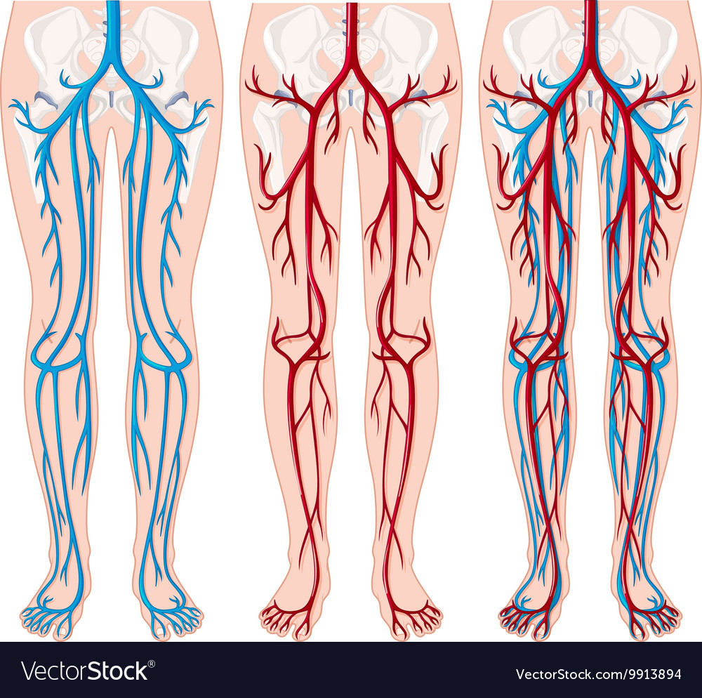 Blood Vessels In Human Legs Royalty Free Vector Image
