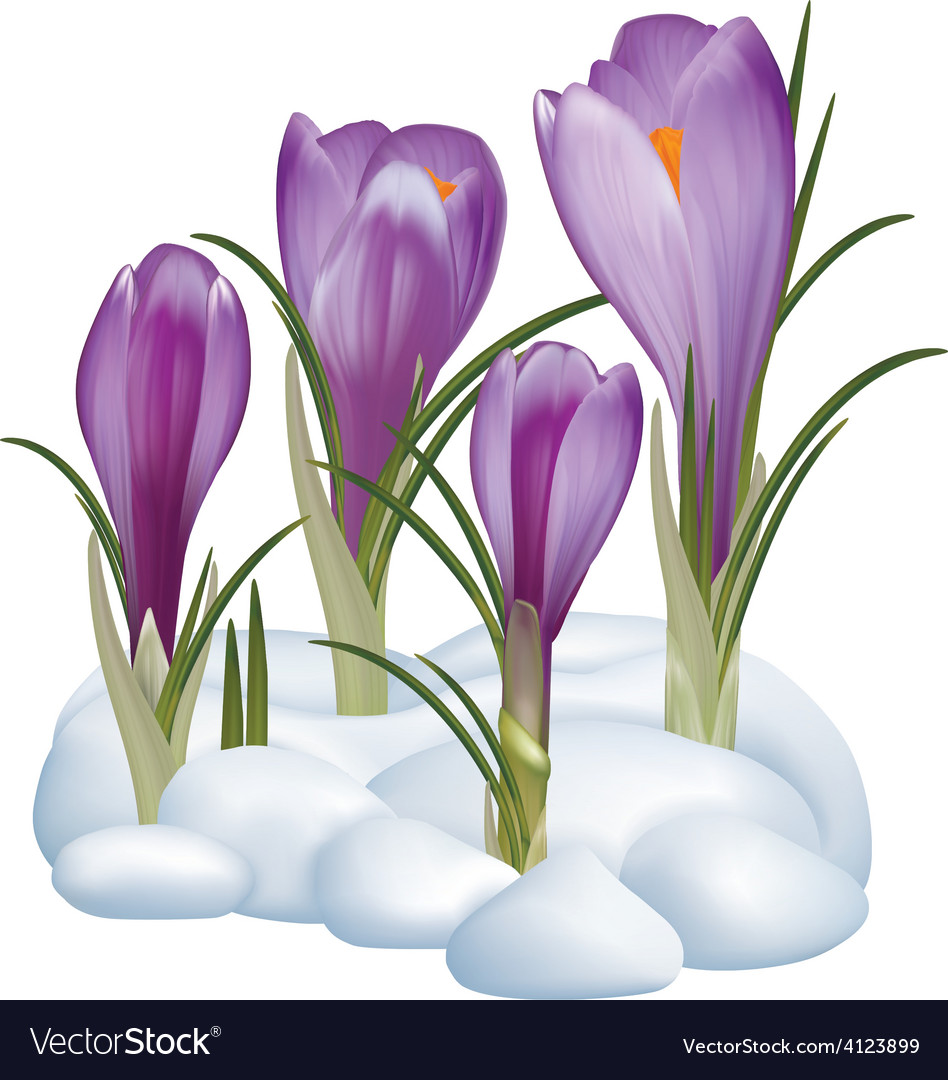 Crocuses Flowers On A Snow Royalty Free Vector Image