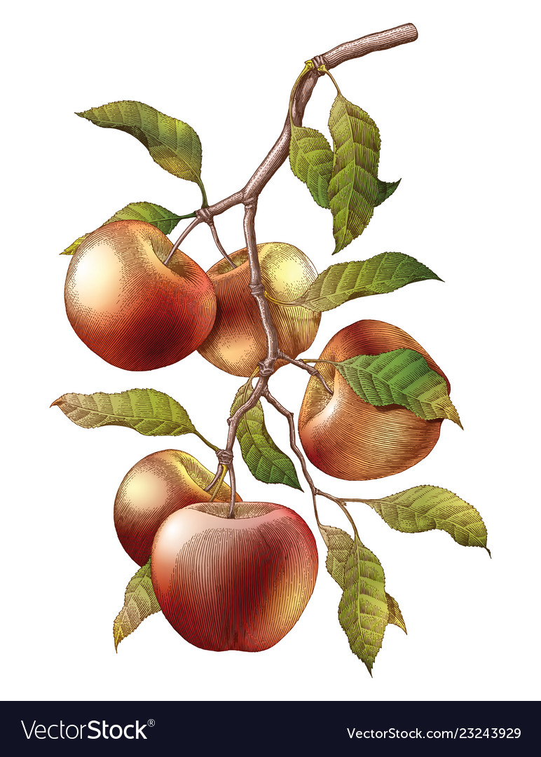 Apple branch hand drawing vintage engraving