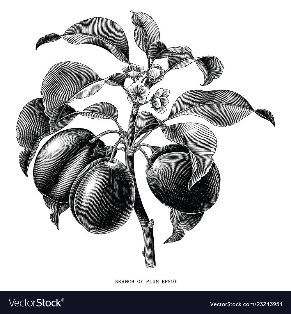 Branch of plum botanical vintage engraving
