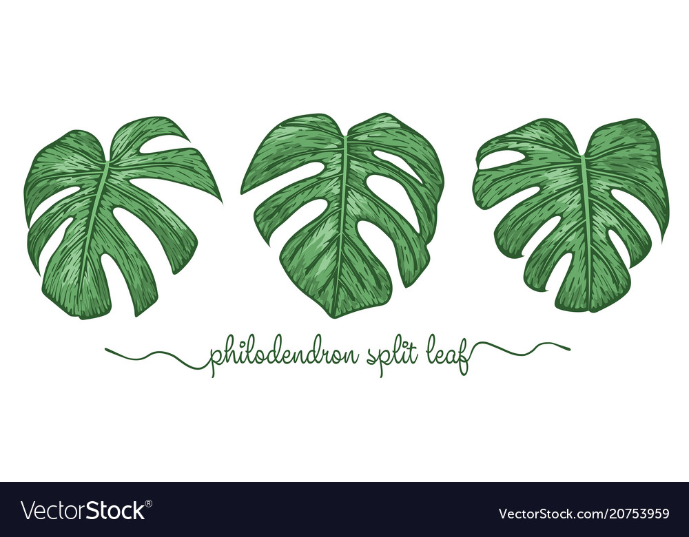 Leaves philodendron elements set botany hand vector