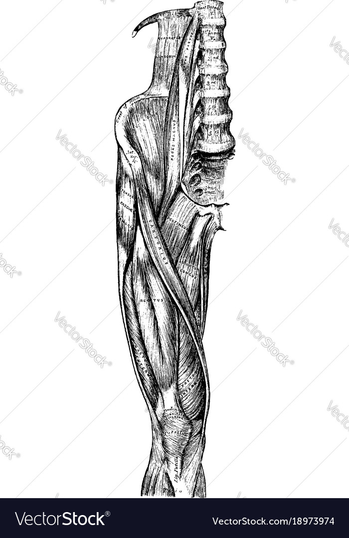 Muscles Of The Hip And Leg Vintage Royalty Free Vector Image