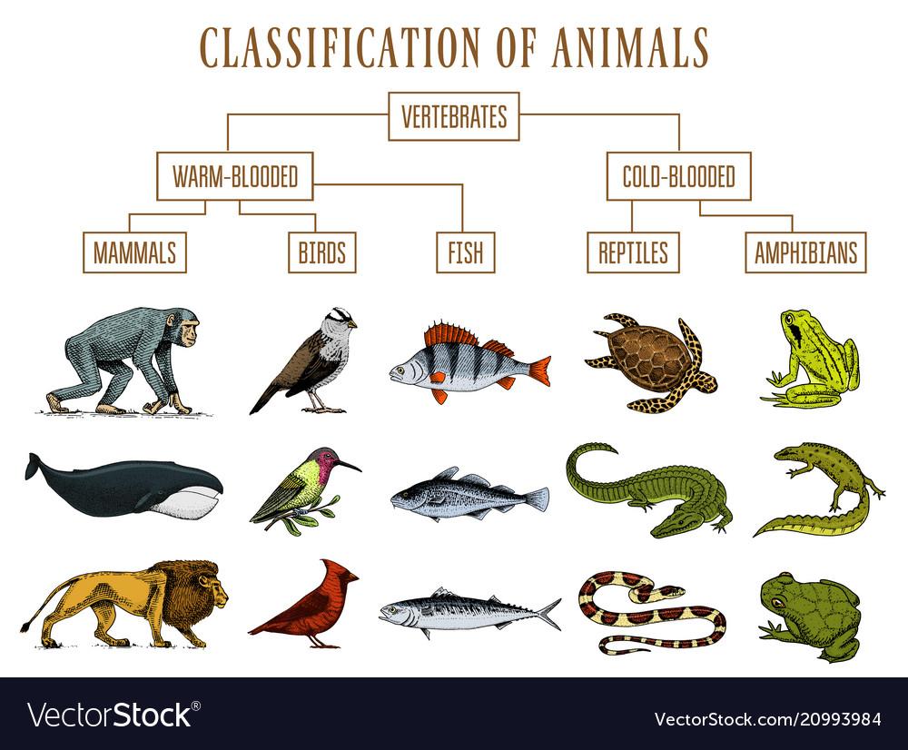 Classification of animals reptiles amphibians Vector Image