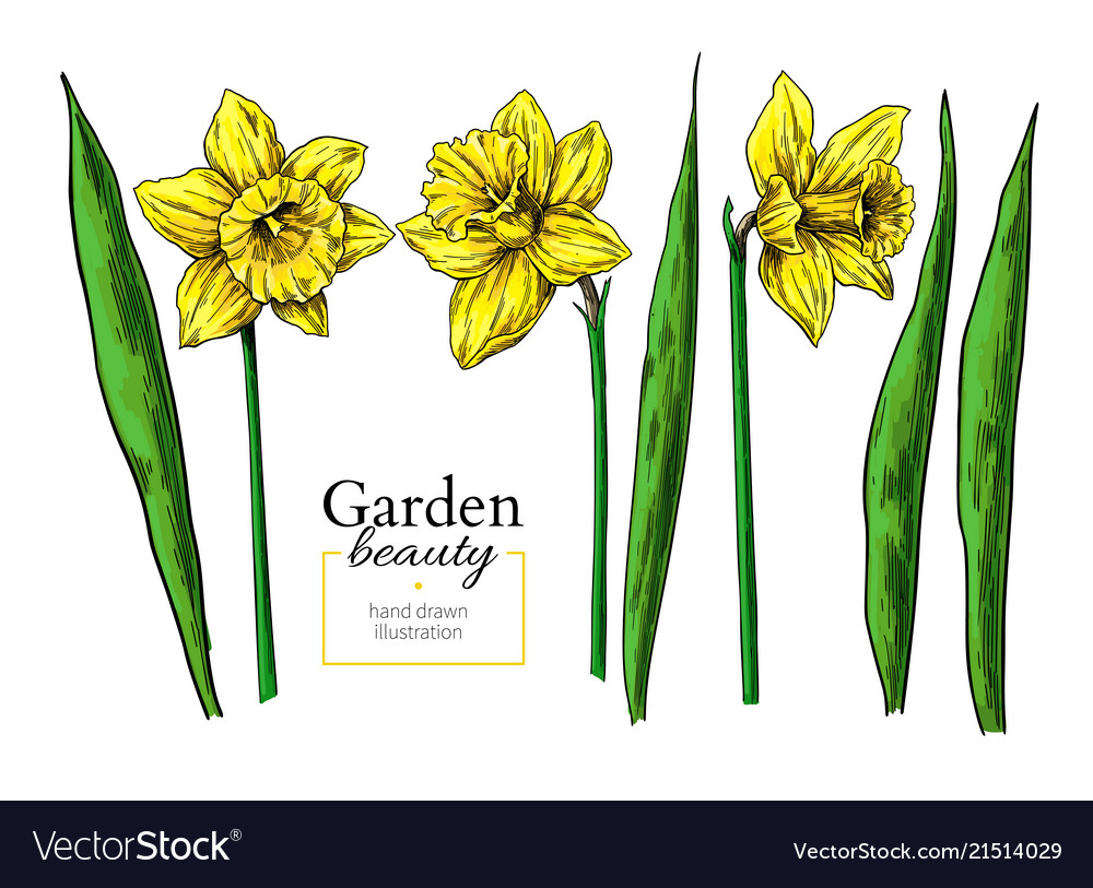 Daffodil flower and leaves drawing hand
