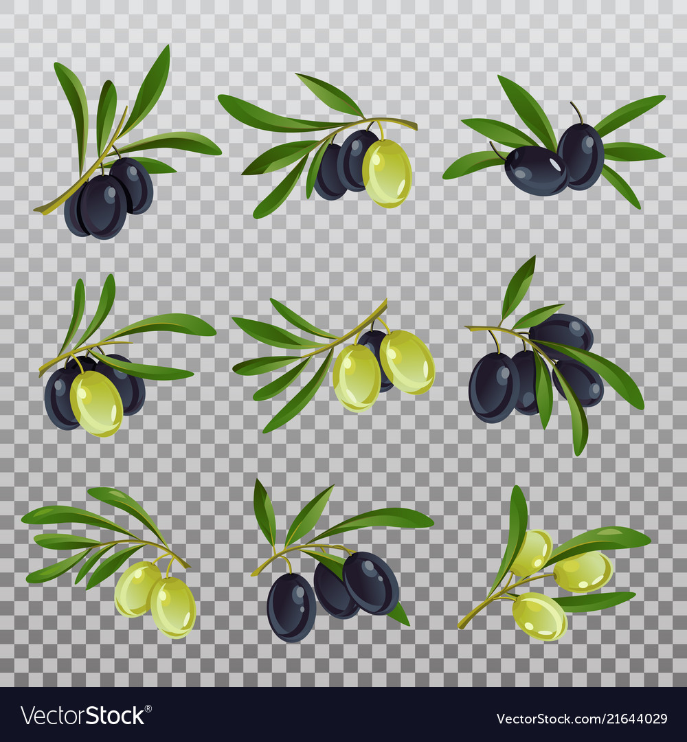Isolated olive branch with ripe and raw berries