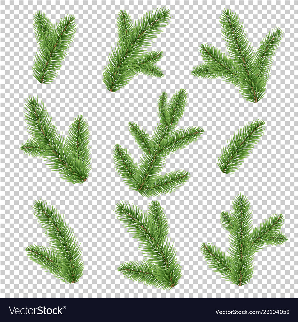 Fir-tree branch isolated transparent background