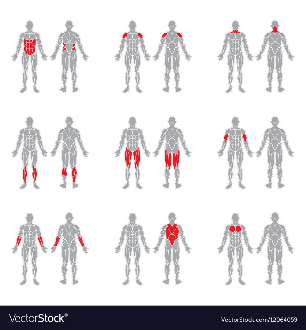 Human body muscles Royalty Free Vector Image - VectorStock