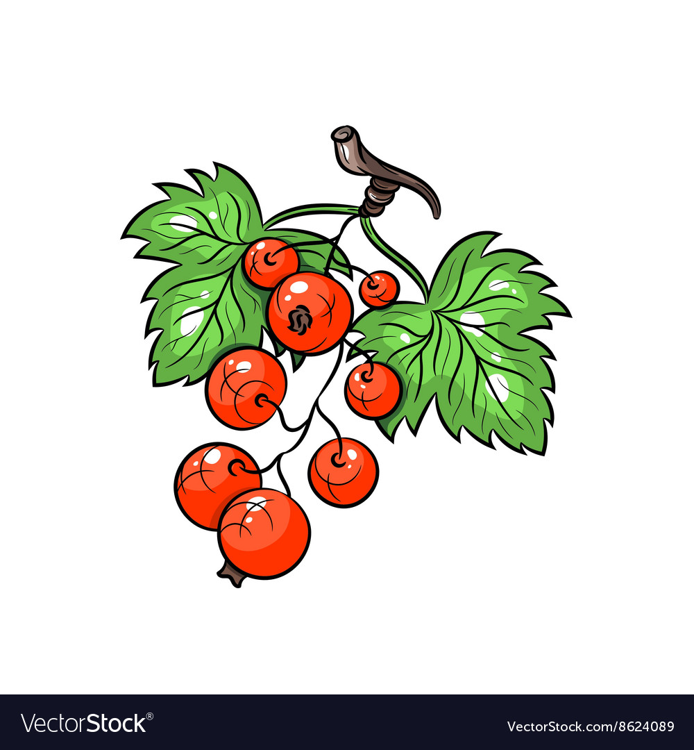 Currant on white background vector image