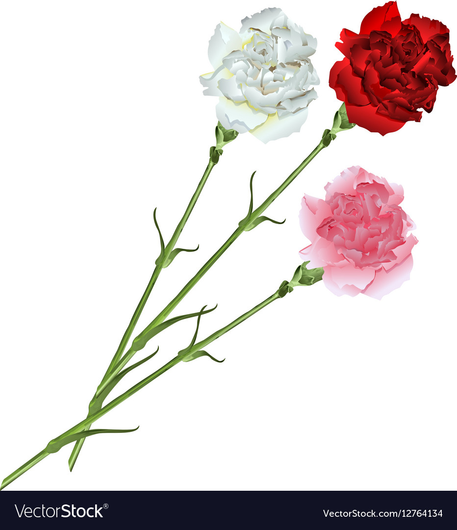 bouquet of white pink and red carnations vector image
