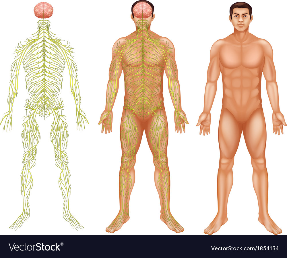 Nervous system of a man vector image