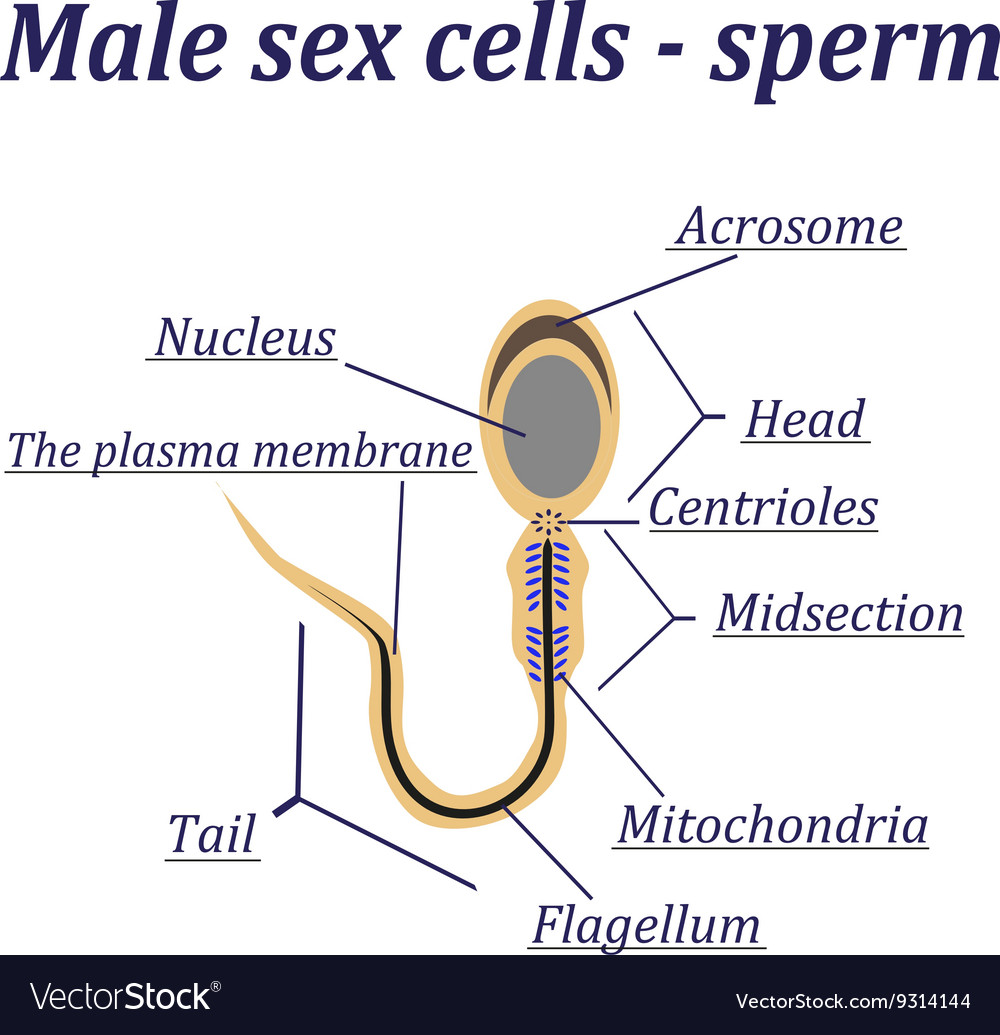 Sperm male sex cell