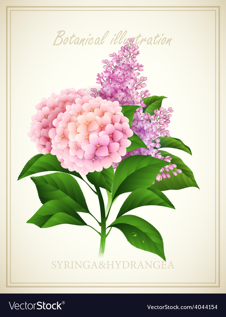 Syringa and Hydrangea Botanical vector image