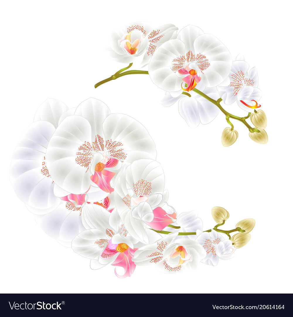 Branches orchids white flowers tropical plant vector image mightylinksfo