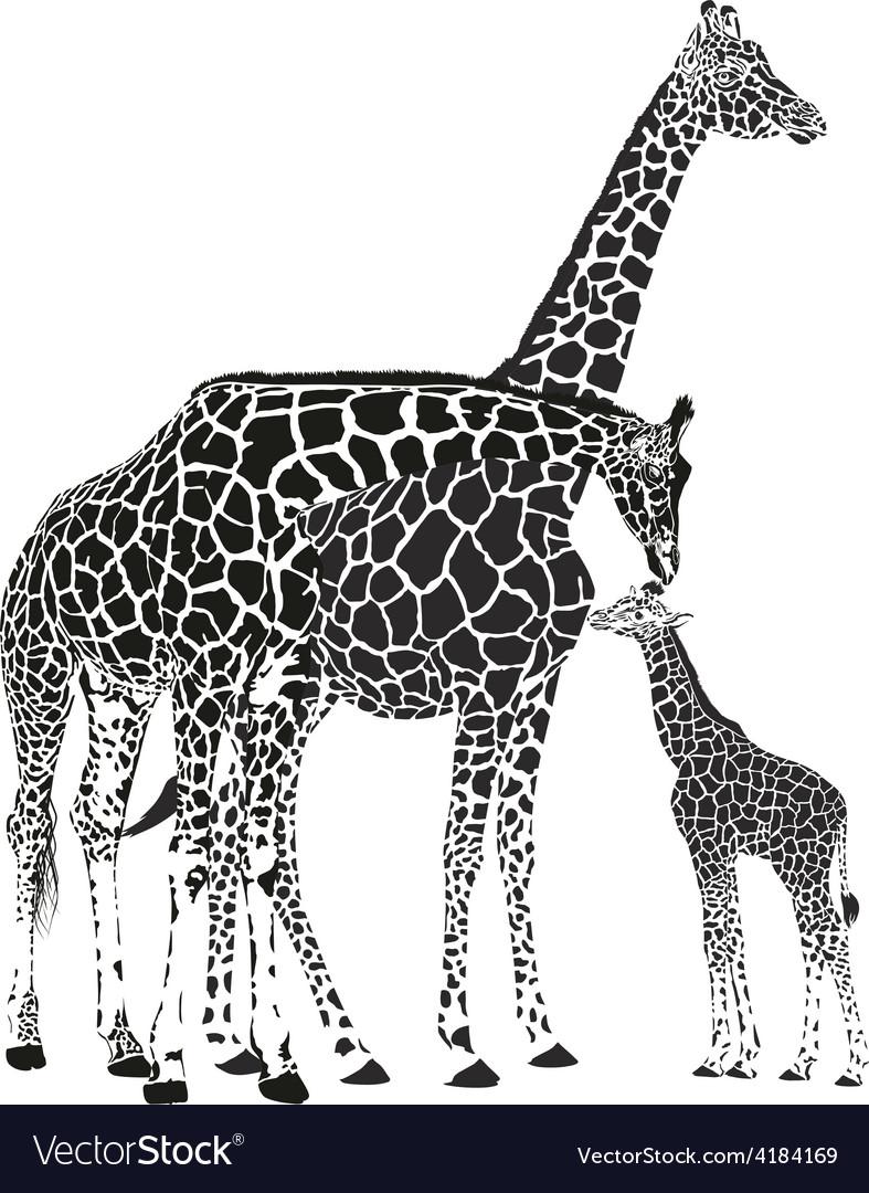 Adult giraffes and baby giraffe