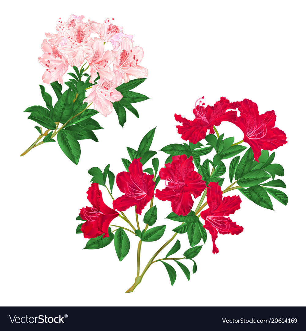 Branches Light Pink And Red Flowers Rhododendrons Vector Image