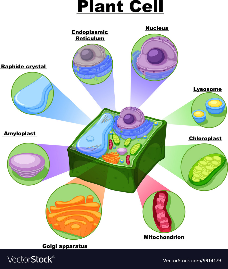 Diagram showing parts of plant cell royalty free vector diagram showing parts of plant cell vector image ccuart Choice Image
