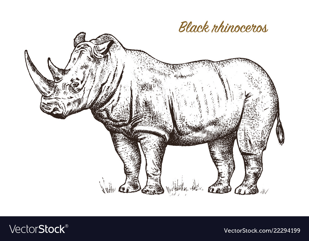 African rhinoceros wild animal on white background