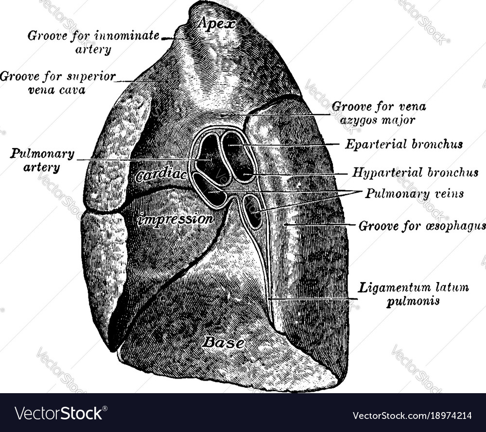 Mediastinal surface of the lung vintage Royalty Free Vector