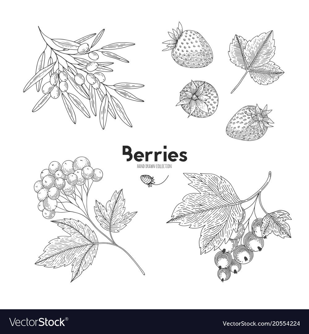 Berries isolated on white background sea vector image