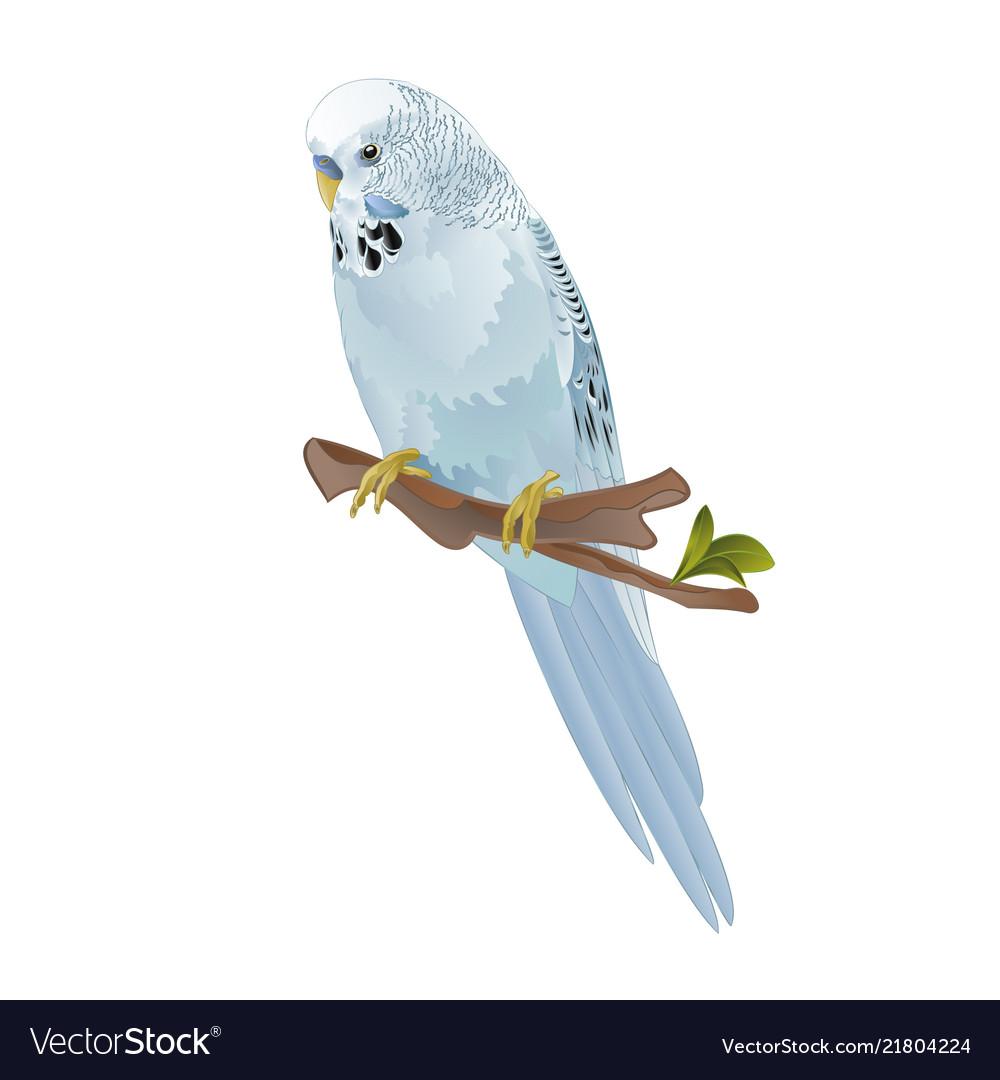 bird budgerigar blue pet parakeet or budgie vector image