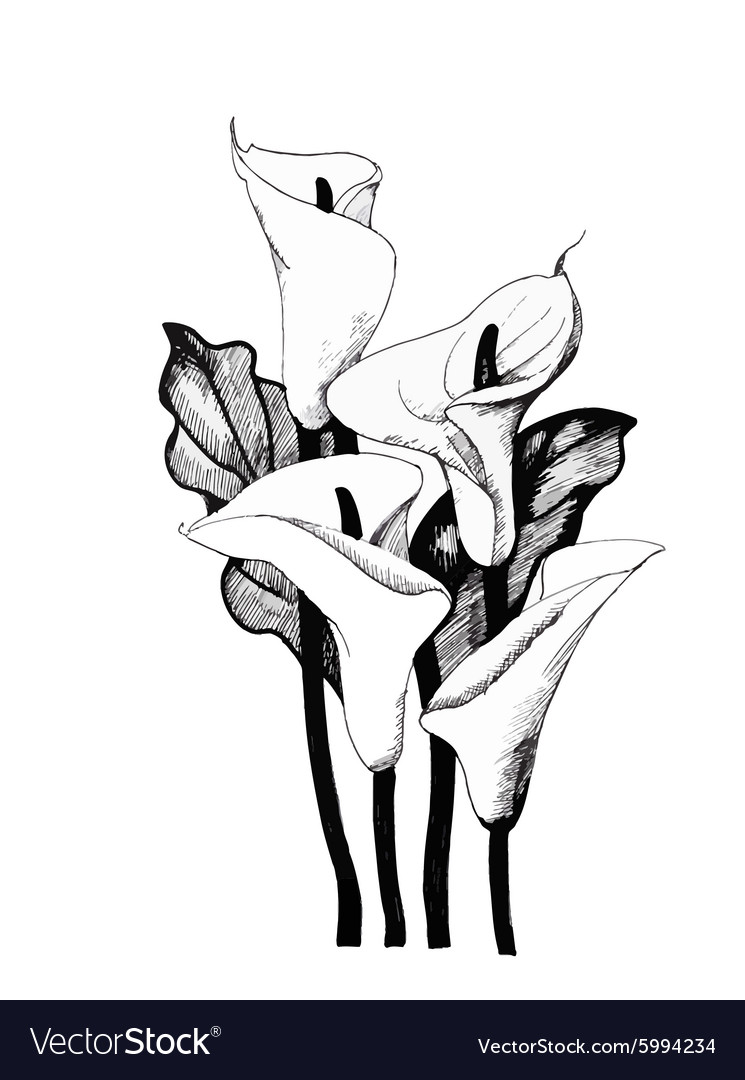 Calla Lilly Fl Black And White Vector Image