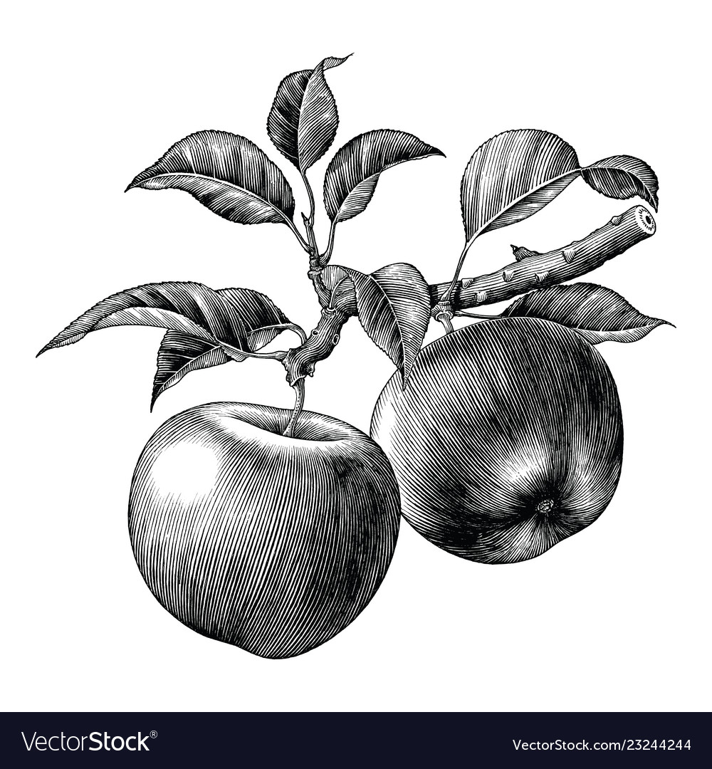 Apple Branch Hand Draw Vintage Clip Art Isolated Vector Image